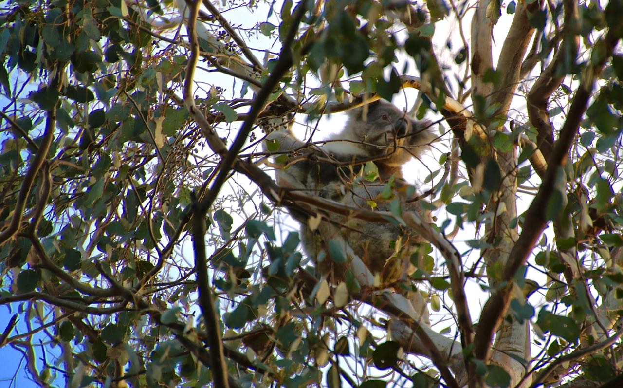 Koala at Smith's Bridge