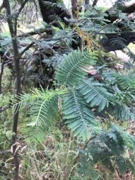 Fern like silver wattle leaves