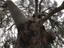 One from a stand of mighty eucalypts