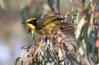 A beautiful yellow tufted honey eater