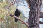 I still haven't achieved a great shot of the very sociable chough. This will have to do for now.