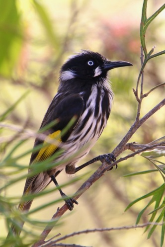 20200224_pho_New Holland Honey Eater 04