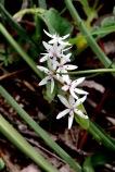 20200722_pho_Hughes Creek Hill 15 Spike Lilies